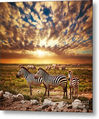 Zebras Herd On African Savanna At Sunset. Metal Print by Michal Bednarek