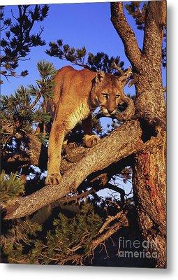 Mountain Lion Metal Print by Dennis Hammer