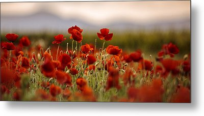 Summer Poppy Meadow Metal Print by Nailia Schwarz
