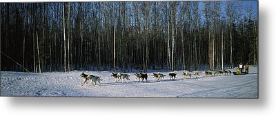 18 Huskies Begin The Long Haul Of 1049 Metal Print by Panoramic Images
