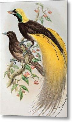 Bird Of Paradise Metal Print by John Gould