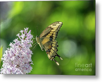 Butterfly Perfection Metal Print by Cheryl Baxter