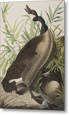 Canada Goose Metal Print by John James Audubon