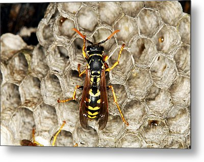 Common Wasp Vespula Vulgaris Metal Print by Gerard Lacz