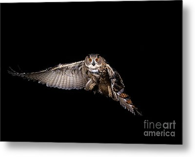 European Eagle Owl Bubo Bubo Metal Print by Gerard Lacz