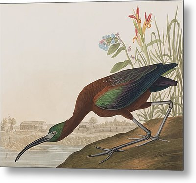 Glossy Ibis Metal Print by John James Audubon