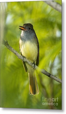 Great Crested Flycatcher Metal Print by Anthony Mercieca