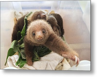 Hoffmanns Two-toed Sloth Choloepus Metal Print by Suzi Eszterhas
