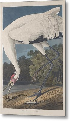 Hooping Crane Metal Print by John James Audubon