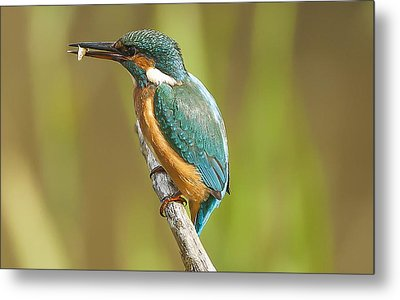Kingfisher Metal Print by Paul Neville