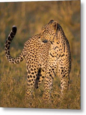 Leopard Panthera Pardus, Serengeti Metal Print by Panoramic Images