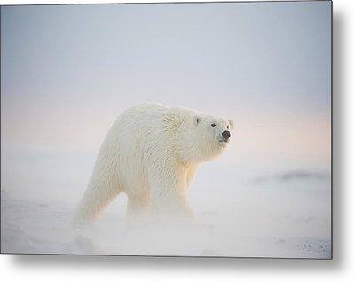 Polar Bear  Ursus Maritimus , Young Metal Print by Steven Kazlowski