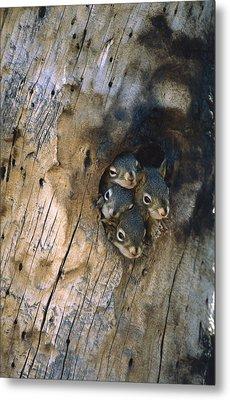 Red Squirrel Tamiasciurus Hudsonicus Metal Print by Michael Quinton