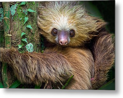 Two-toed Sloth Choloepus Didactylus Metal Print by Panoramic Images