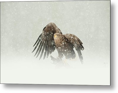 White-tailed Eagle Metal Print by Andy Astbury