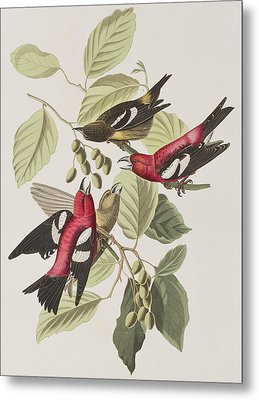 White-winged Crossbill Metal Print by John James Audubon