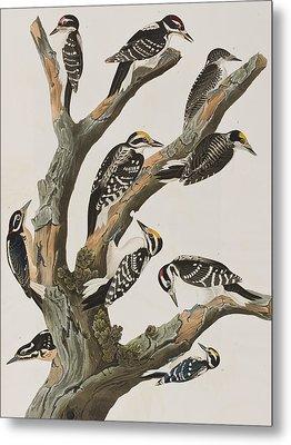 Woodpeckers Metal Print by John James Audubon