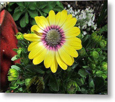 Yellow Daisy Metal Print by Joyce Woodhouse