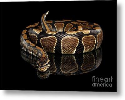Ball Or Royal Python Snake On Isolated Black Background Metal Print by Sergey Taran