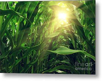 Corn Field Metal Print by Carlos Caetano
