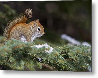 Eastern Grey Squirrel  Sciurus Metal Print by Philippe Henry