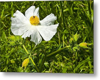 Prickly Poppy Metal Print by Mark Weaver
