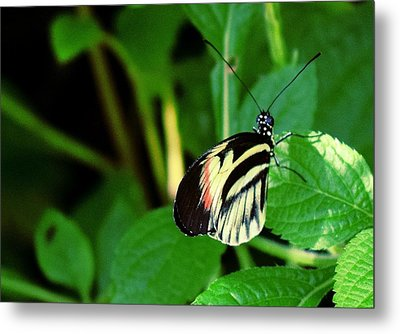 Butterfly No. 4 Metal Print by Sandy Taylor