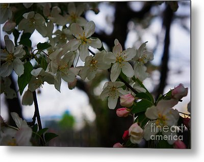 Cherry Blossoms  Metal Print by Celestial Images