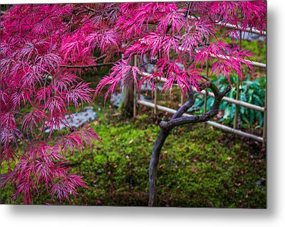 Japanese Maple Metal Print by Calazones Flics