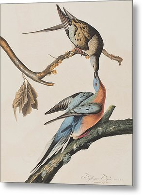 Passenger Pigeon Metal Print by John James Audubon