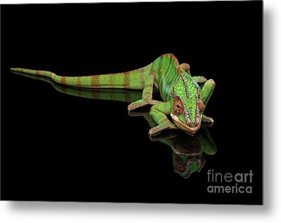Sneaking Panther Chameleon, Reptile With Colorful Body On Black Mirror, Isolated Background Metal Print by Sergey Taran