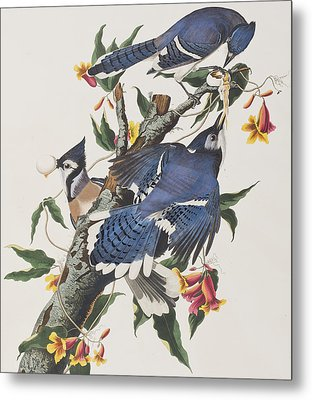 Blue Jay Metal Print by John James Audubon