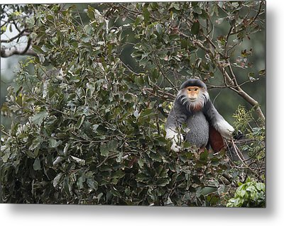 Douc Langur In Treetop Metal Print by Cyril Ruoso