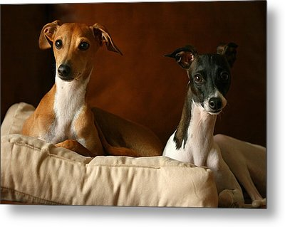 Italian Greyhounds Metal Print by Angela Rath