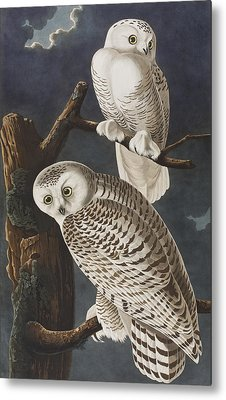 Snowy Owl Metal Print by John James Audubon