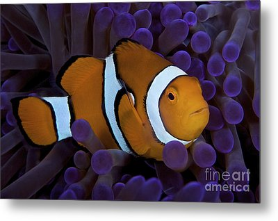 False Ocellaris Clownfish In Its Host Metal Print by Terry Moore