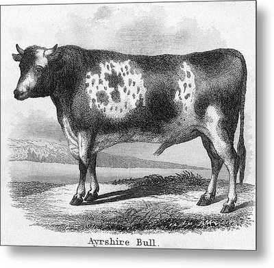 Cattle, 19th Century Metal Print by Granger