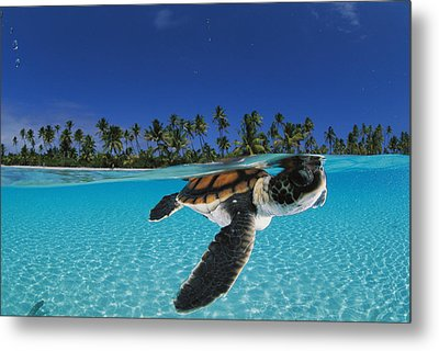 A Baby Green Sea Turtle Swimming Metal Print by David Doubilet