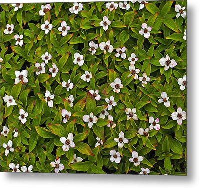A Bunch Of Bunchberries Metal Print by Tony Beck