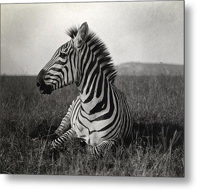 A Burchells Zebra At Rest Metal Print by Carl E. Akeley