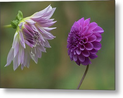 A Conversation Between Dahlias Metal Print by Angie Vogel
