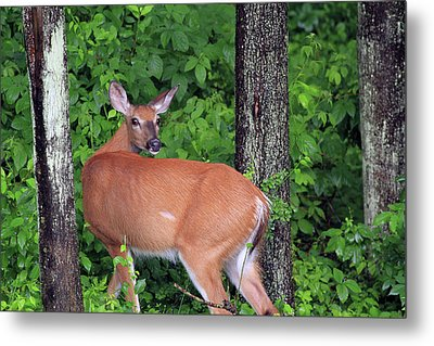 A Doe Within The Trees Metal Print by Karol Livote