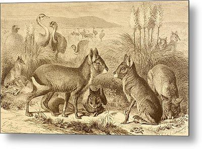 A Family Of Patagonian Maras Or Metal Print by Vintage Design Pics