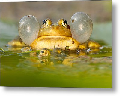 A Frog's Life Metal Print by Roeselien Raimond