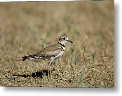 A Killdeer In Eastern Montana Metal Print by Joel Sartore