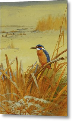 A Kingfisher Amongst Reeds In Winter Metal Print by Archibald Thorburn