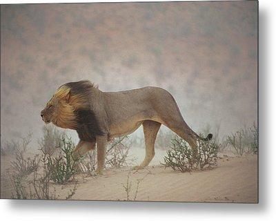 A Lion Pushes On Through A Gritty Wind Metal Print by Chris Johns