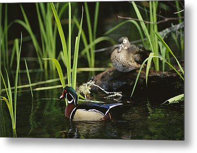 A Male Wood Duck Swims Past Its Mate Metal Print by Raymond Gehman