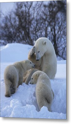 A Mother Polar Bear Nurtures Her Two Metal Print by Paul Nicklen