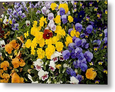 A Multi-colored Bed Of Pansies In Old Metal Print by Stephen St. John